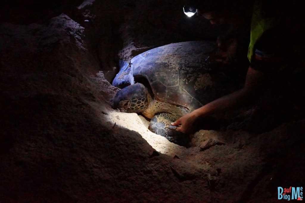Meeresschildkröte bei Vermessung nach Eiablage auf Turtle Island Selingan
