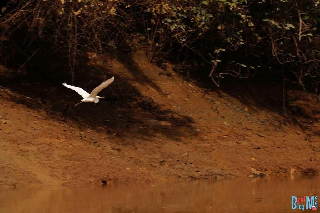 Silberreiher sieht man sehr häufig am Kinabatangan River