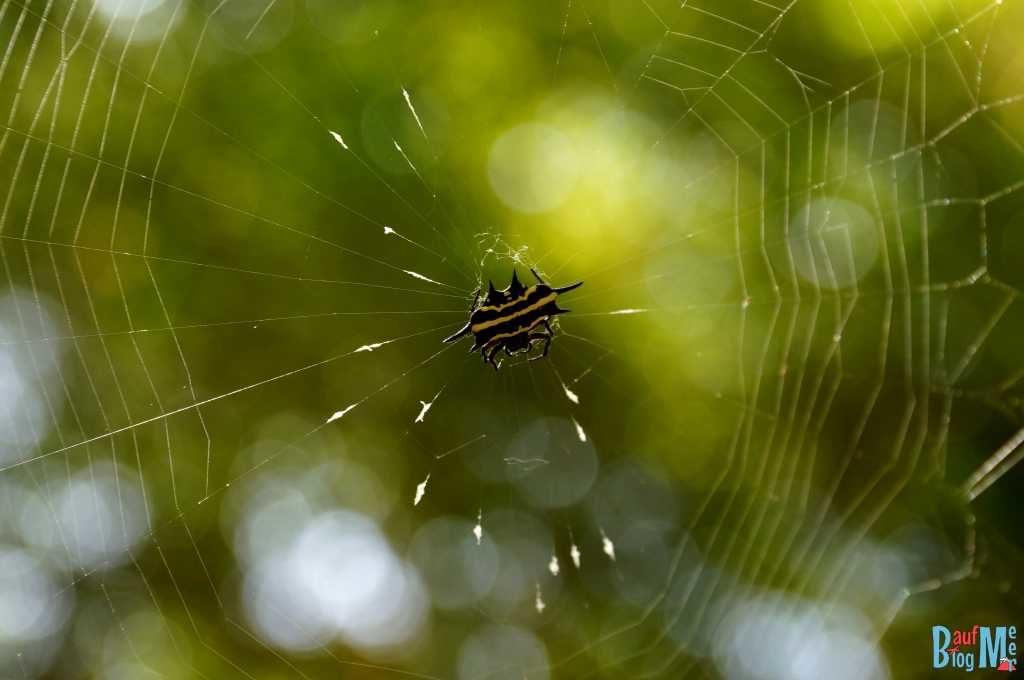 Spinne mit festem, krustentierartigem Körper