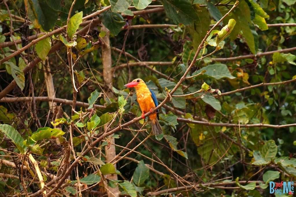Storchschnabelliest (Eisvogel) am Kinabatangan River