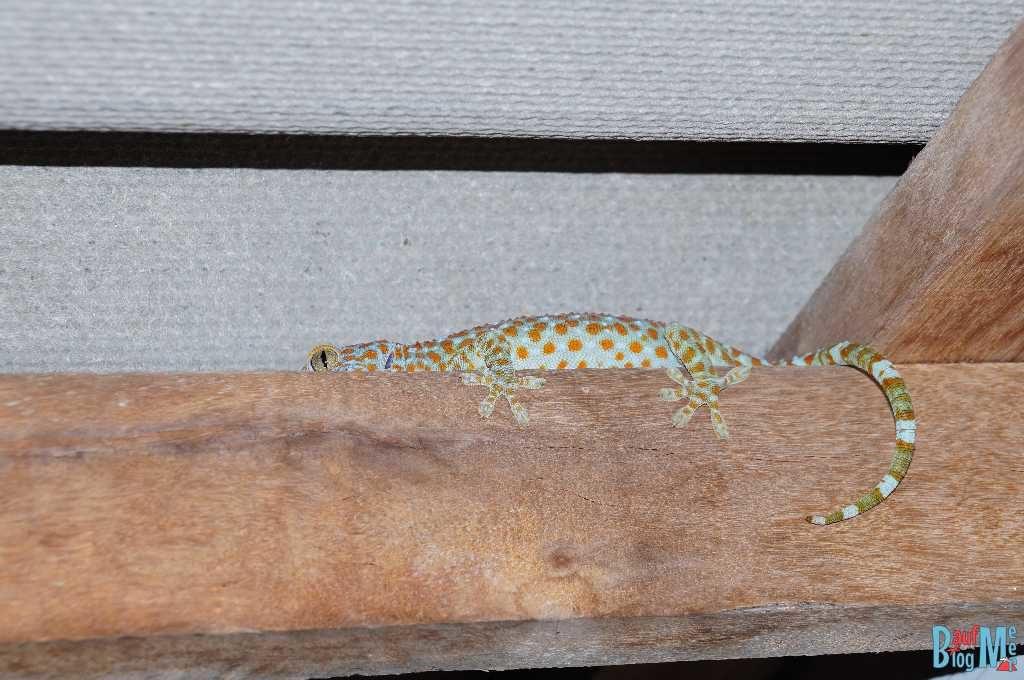 """Tokeh (= """"Gecko Gecko"""")"""