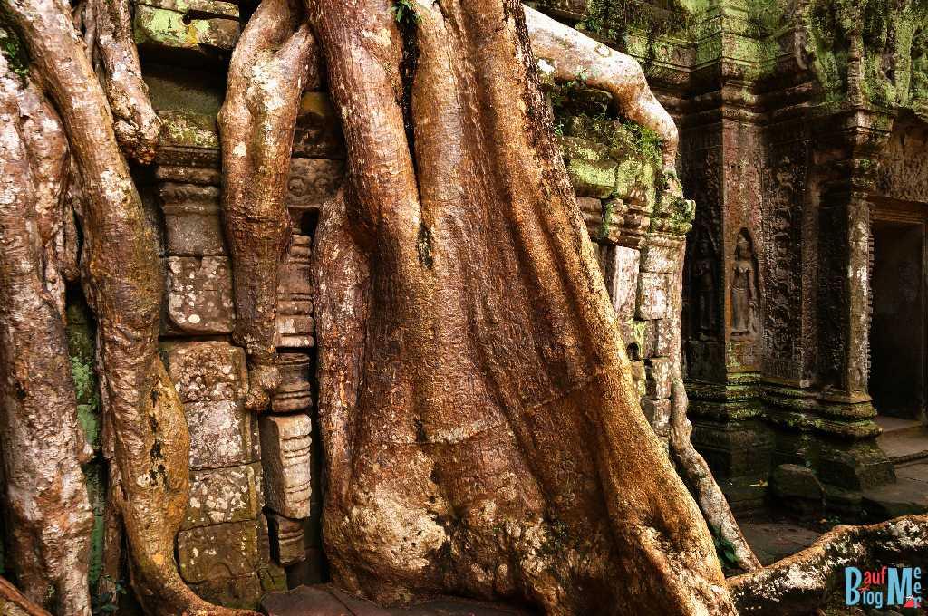 Dicke Wurzel auf einer Mauer im Tempel Ta Prohm.