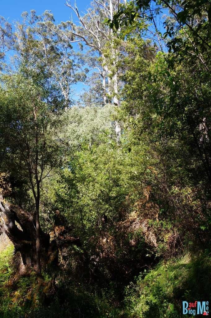 Der Dave Evans Bicentennial Tree ist auch ein Karribaum wie diese im Warren National Park Tree