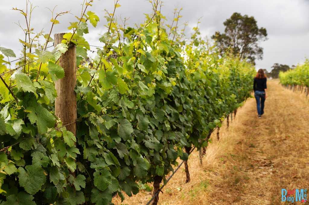 Weinrautem bei der Churchview Winzerei in der Margaret River Region in Western Australia
