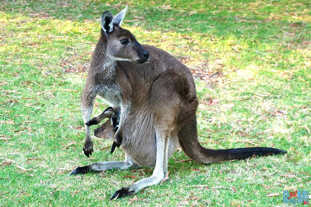 Känguru Weibchen mit Känguru Kleinem im Sack