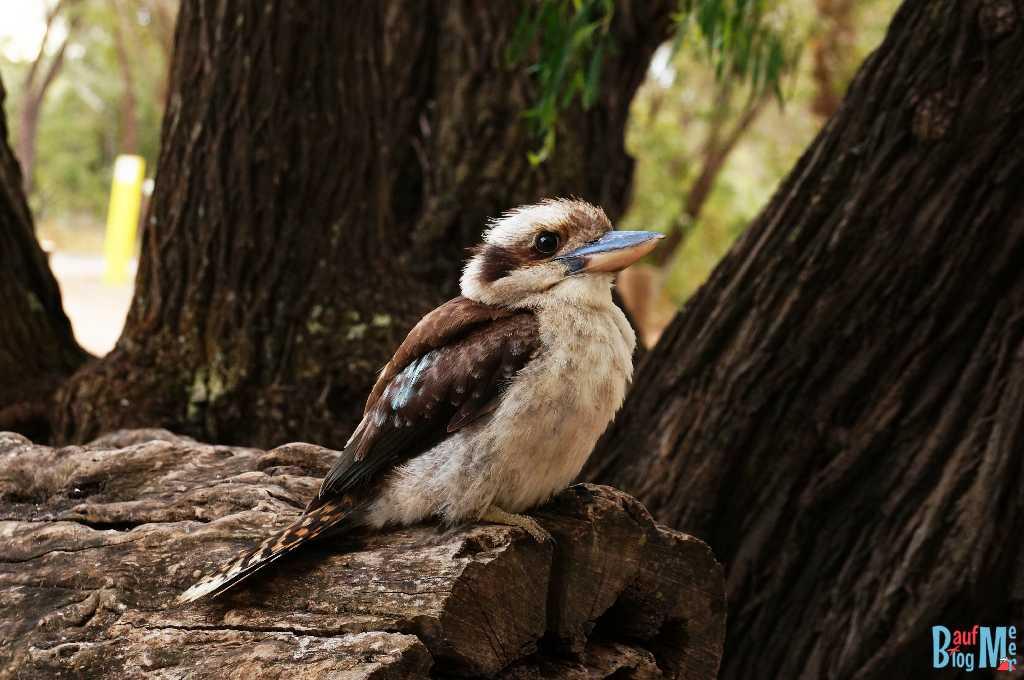 Kookaburra Vogel (Jägerliest, Familie Eisvögel) gar nicht scheu bei uns am Camping Platz