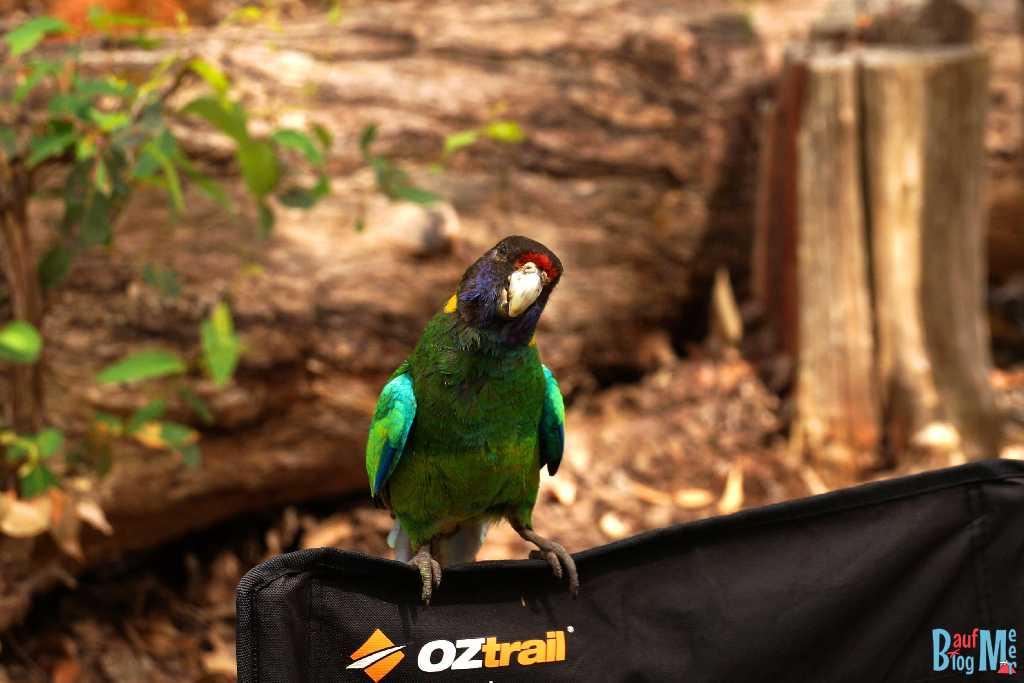 Papagei am Camping Platz am Lake Brockmann