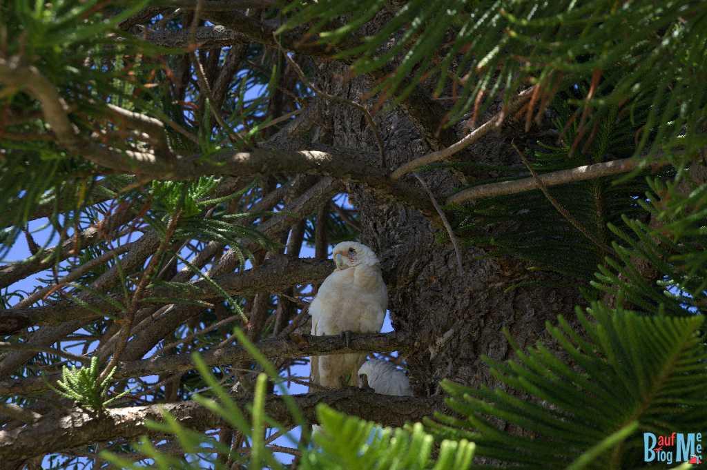 Weißer Papagei / Kakadu