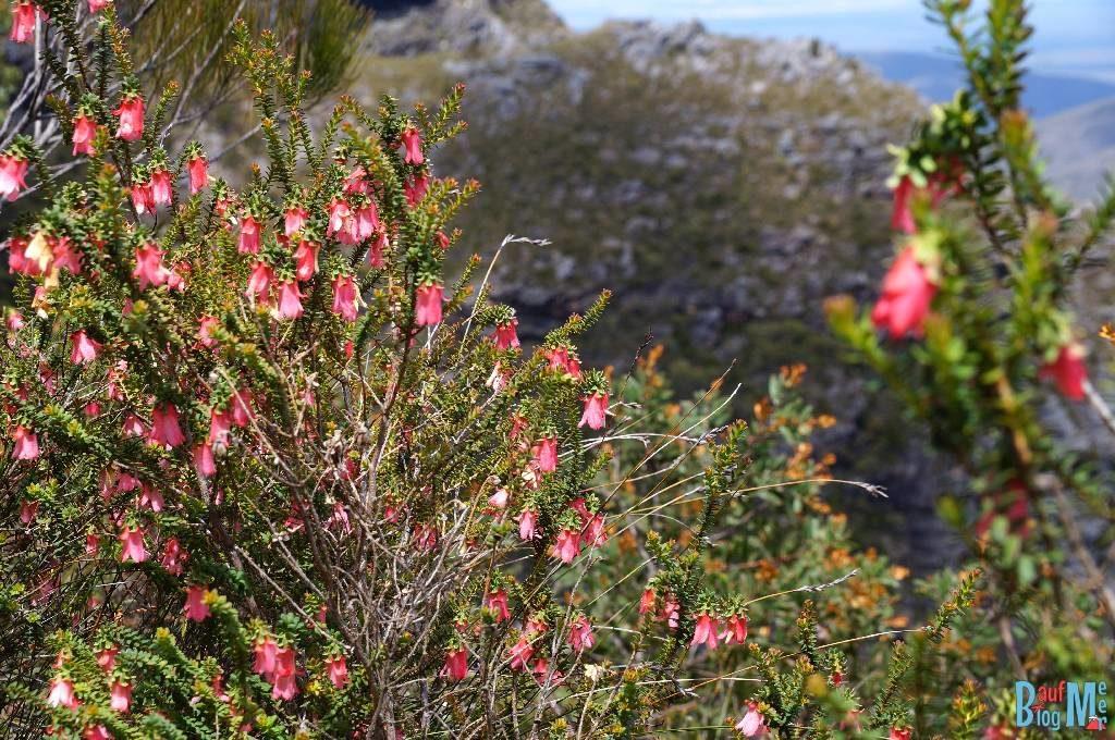 Büsche mit roten Wildblumen beim Aufstieg auf den Bluff Knoll