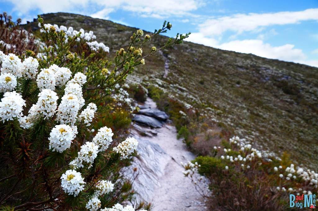 Strauch mit weißen Blüten neben dem Wanderweg fast schon auf dem Gipfel des Bluff Knoll