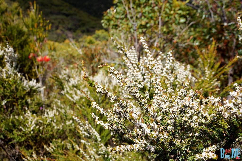 Weiße Wildblumen auf dem Wanderweg rauf zum Bluff Knoll