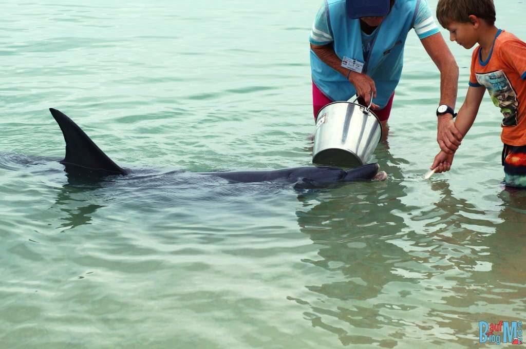 Delfin Fütterung durch ein Kind in Monkey Mia und richtige Einweisung durch Volunteer.