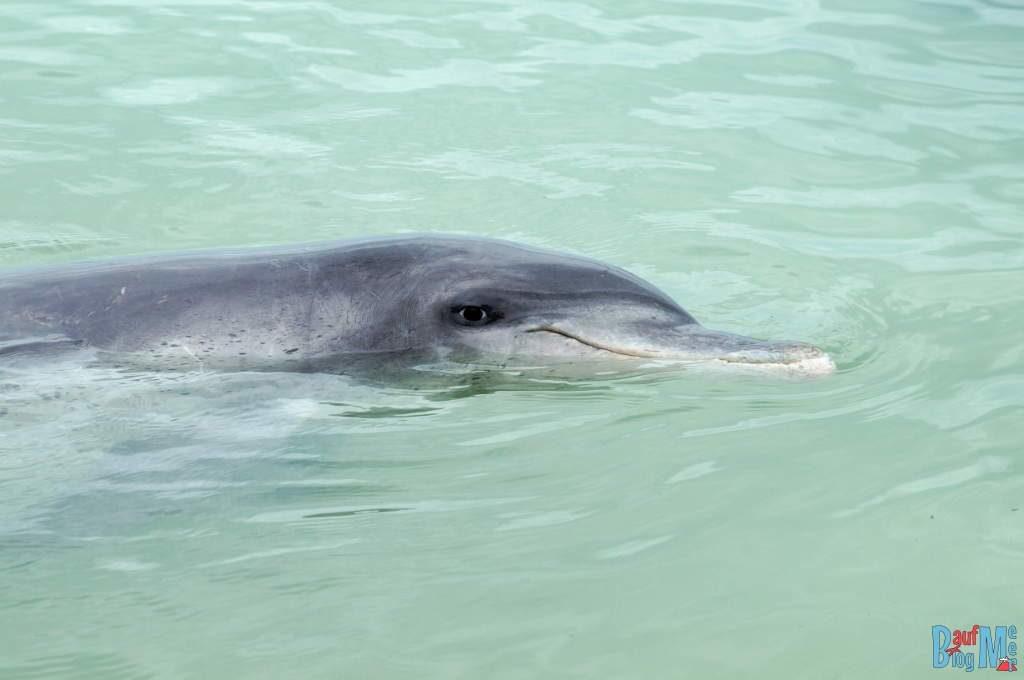 Erst von rechts angeschaut: Großer Tümmler Delfin in Monkey Mia