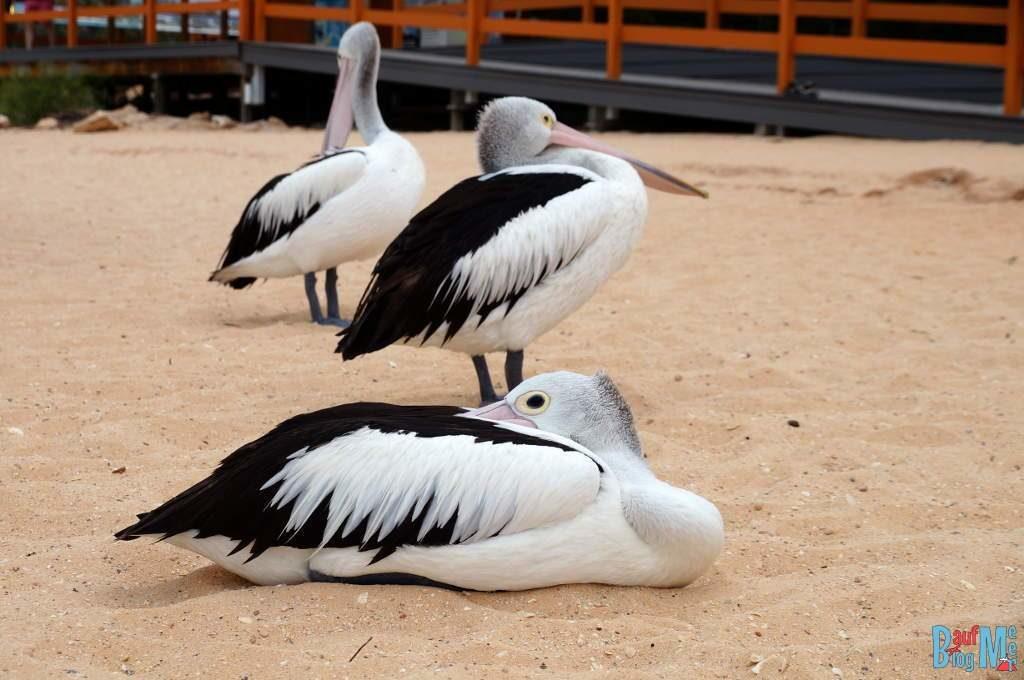 Drei Pelikane am Strand von Monkey Mia