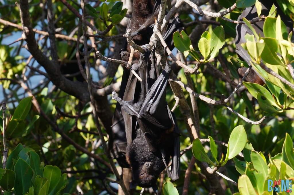 Flughund im Baum bei Yardie Creek