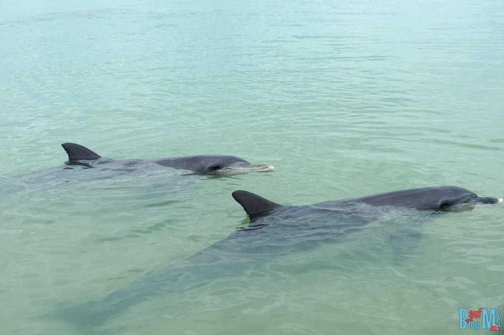 Nachhaltiges Reisen: Große Tümmler Delfine bei Monkey Mia