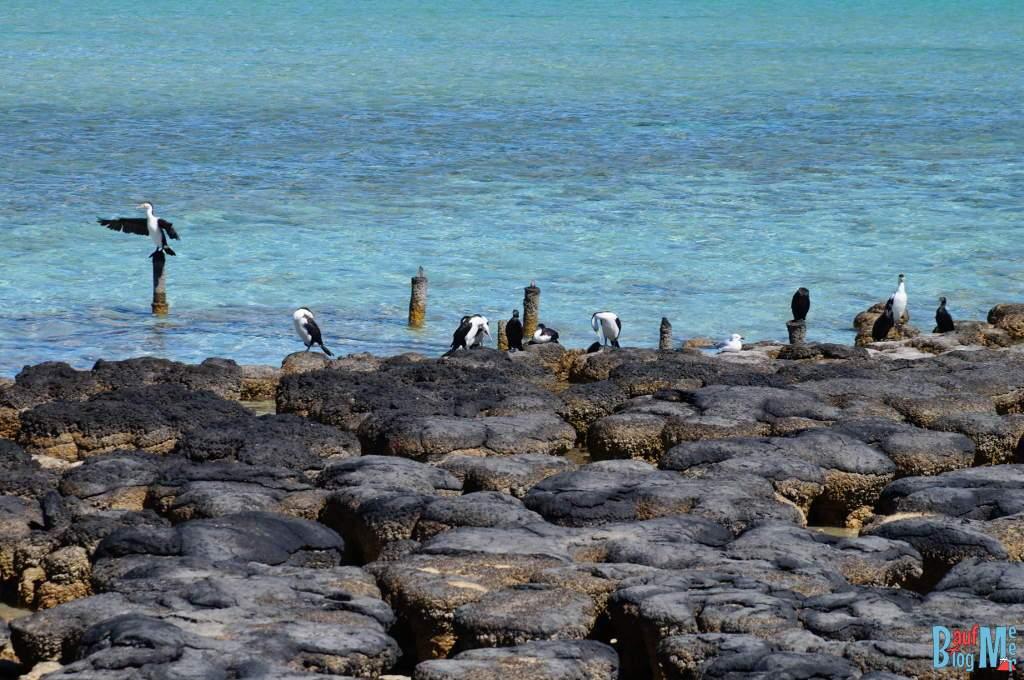 Kormorane bei den Stromatolithen