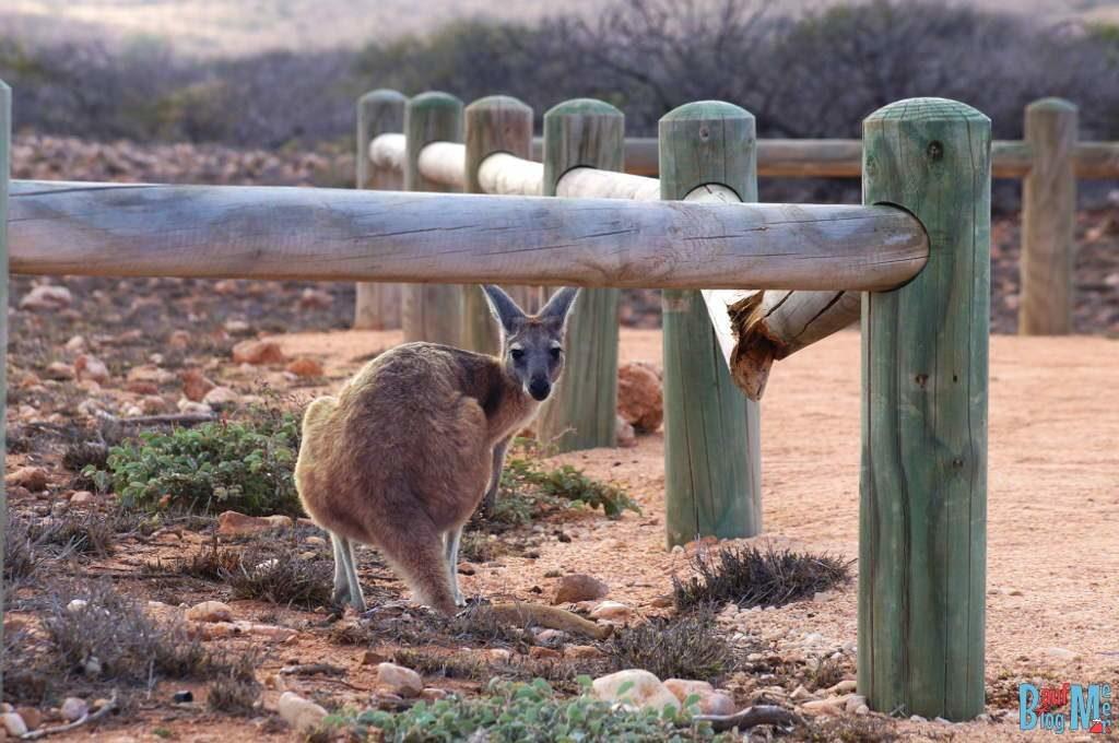 Känguru am Yardie Campingplatz