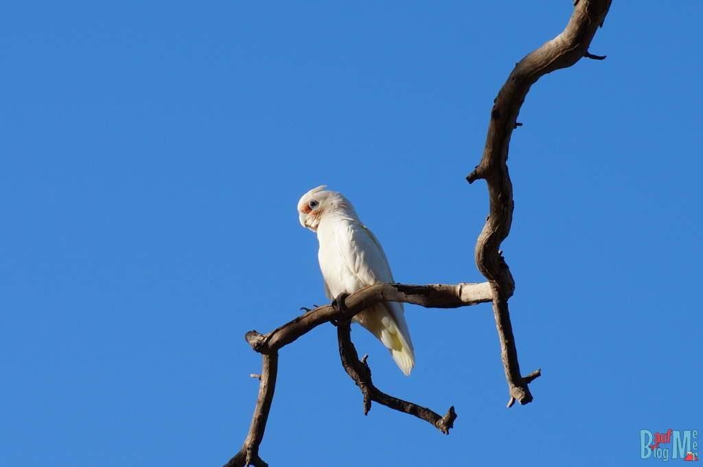 Weißer Kakadu auf einem Ast