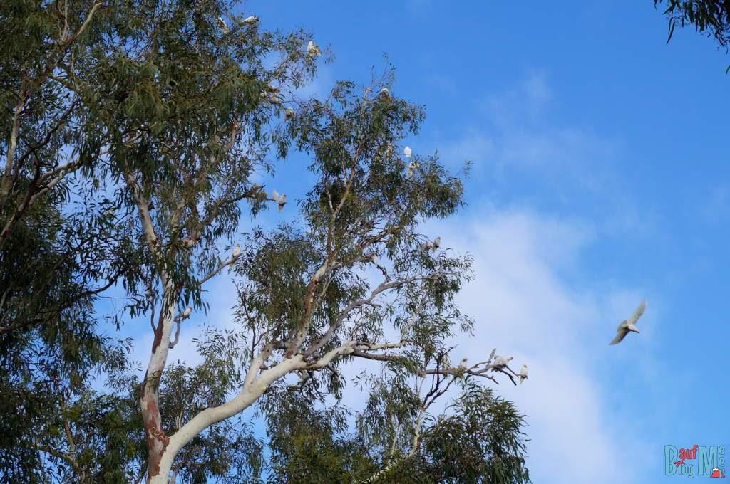 Weiße Kakadus auf einem Baum