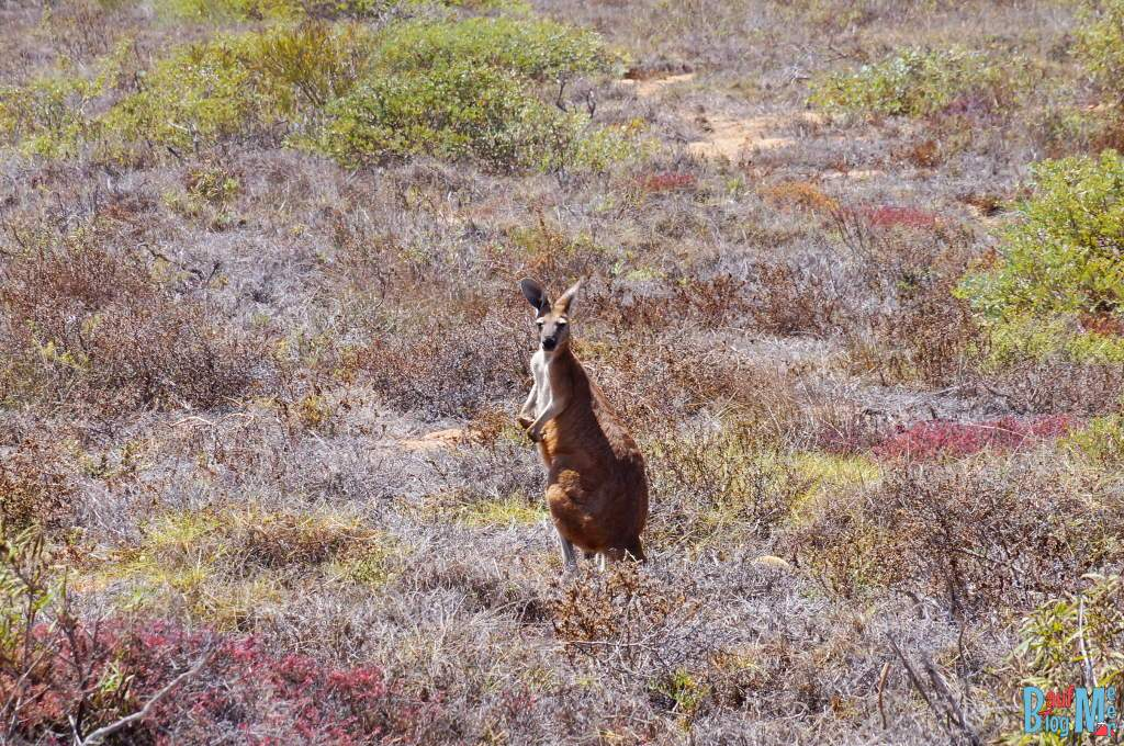 Känguru im Cape range Nationalpark