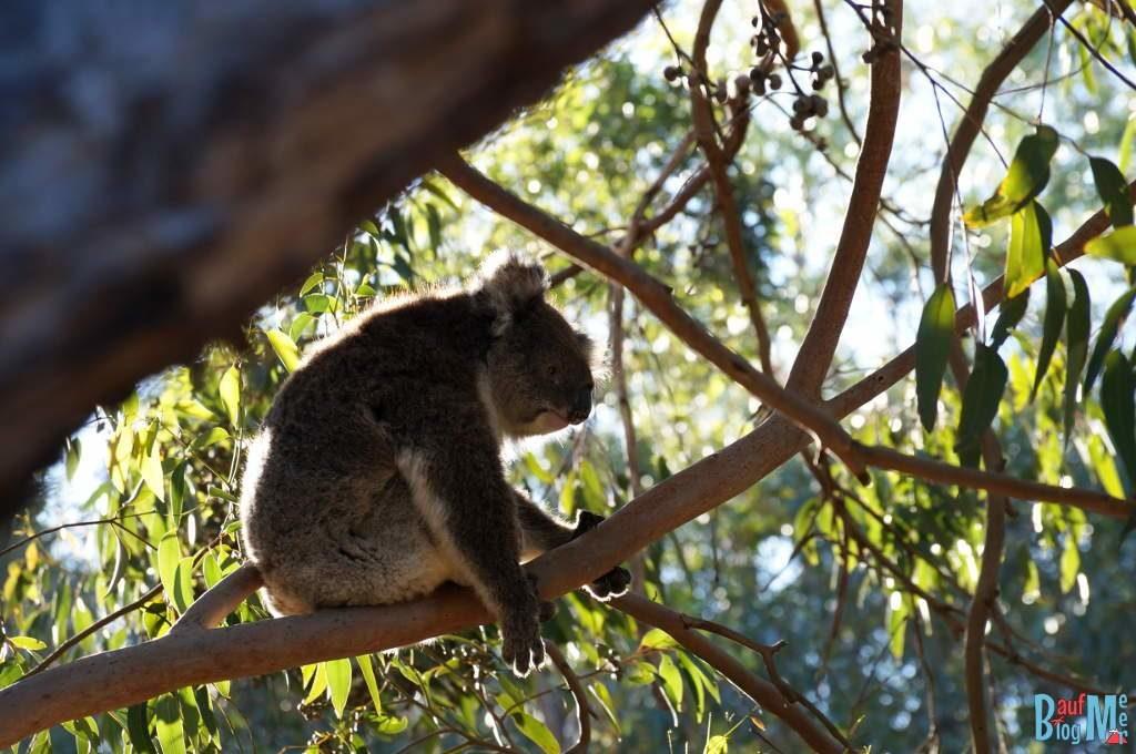 Koala auf einem Ast im Yanchep Nationalpark