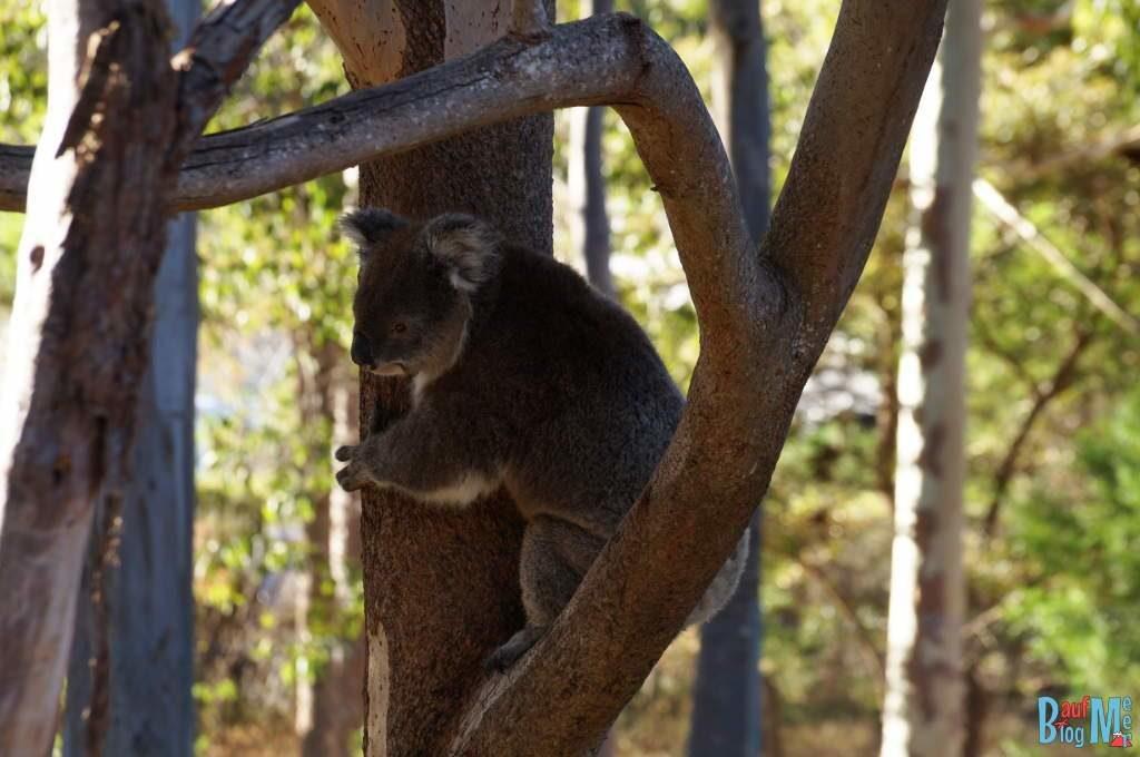 Koala an einem Stamm im Yanchep Nationalpark