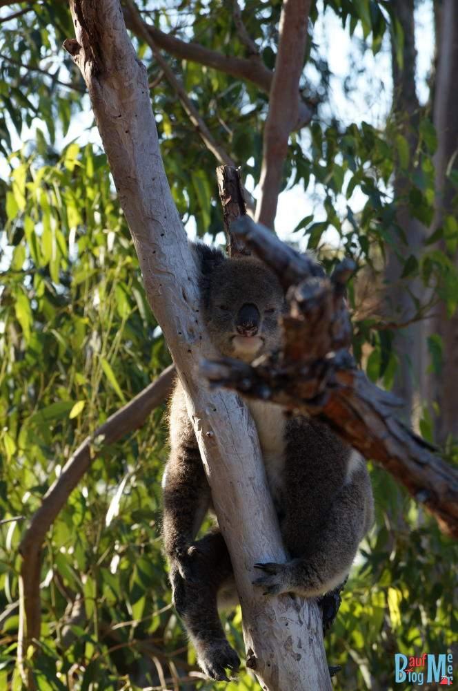 Koala am Abhängen auf einem Baum im Yanchep Nationalpark