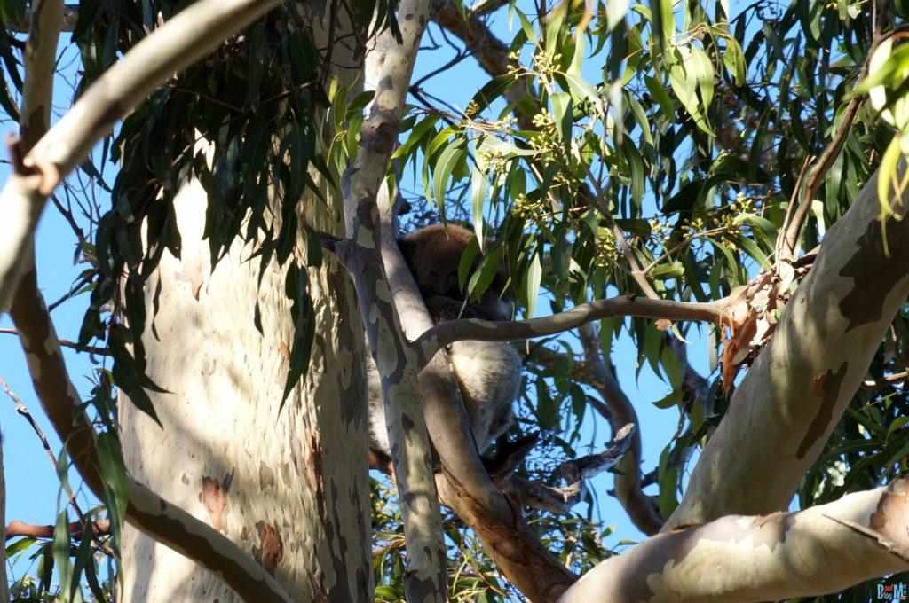 Schlafendes Koala Wollknäuel auf einem Baum im Gehege des Yanchep Nationalparks