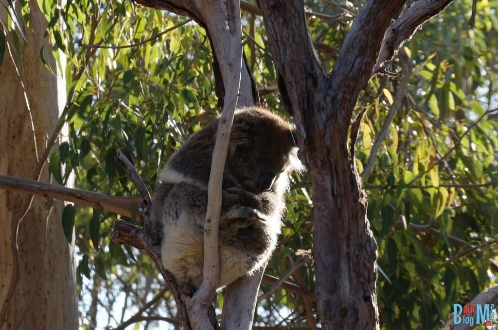 Schlafender Koala auf einem Baum in Yanchep Western Australia