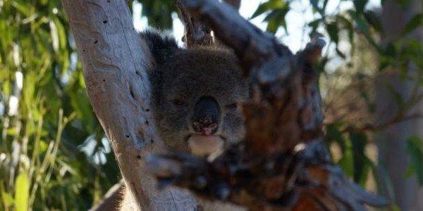 Koala auf Baum in Yanchep Western Australia