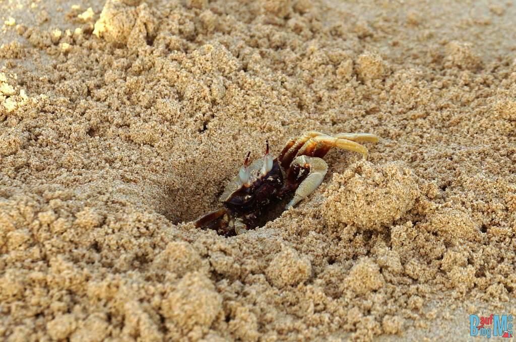Krabbe am Strand im Sand