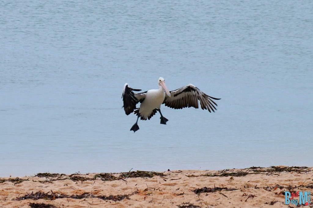 Anflug eines Pelikans an den Strand von Monkey Mia