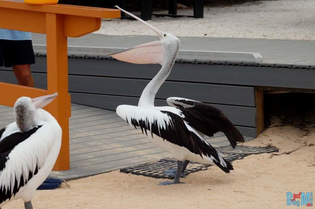 Die Pelikane sind natürlich ganz heiß auf das Futter der Delfine