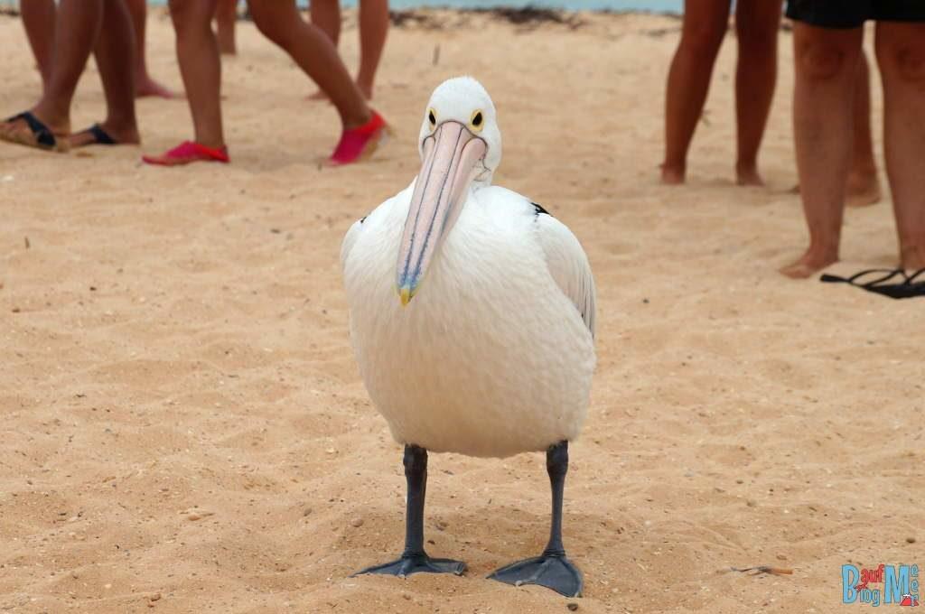 Schenkt mir Beachtung, auch ich bin ganz toll, nicht nur die Delfine! (Pelikan am Strand von Monkey Mia)