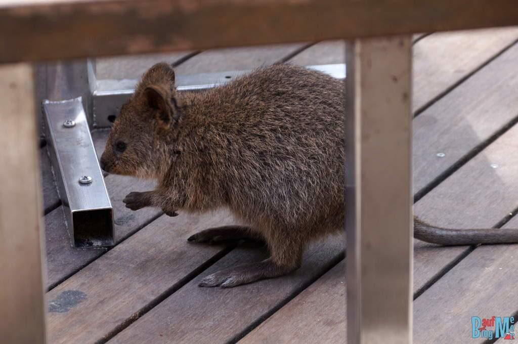 Quokka am Boden eines Cafes auf Rottnest Island