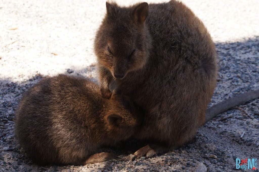 Mama und Kind Quokka beim Säugen auf Rottnest Island