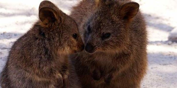 Quokka nose kiss