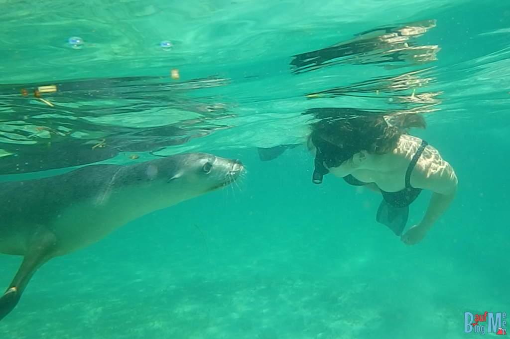 Seelöwe und Mensch bei gegenseitiger Erkundung beim Schnorcheln
