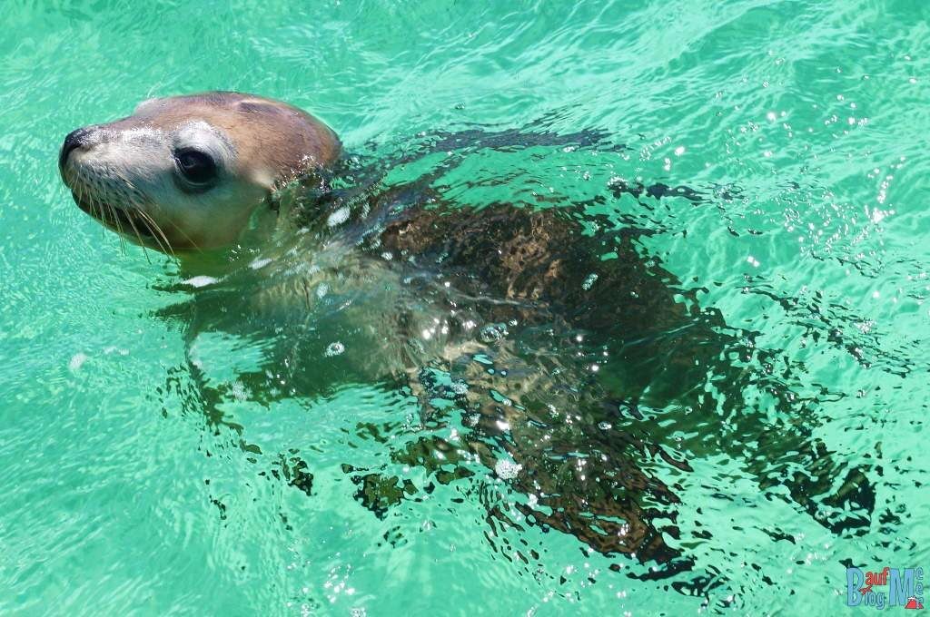So ein süßes Wesen dieser Seelöwe