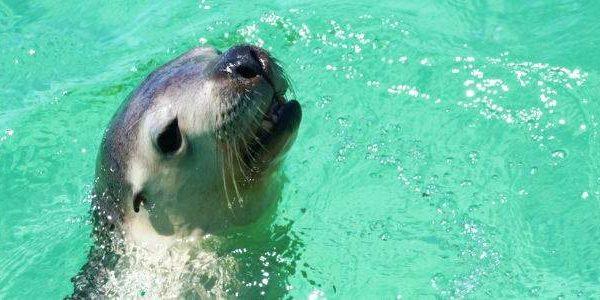Seelöwe Jurien Bay, Western Australia