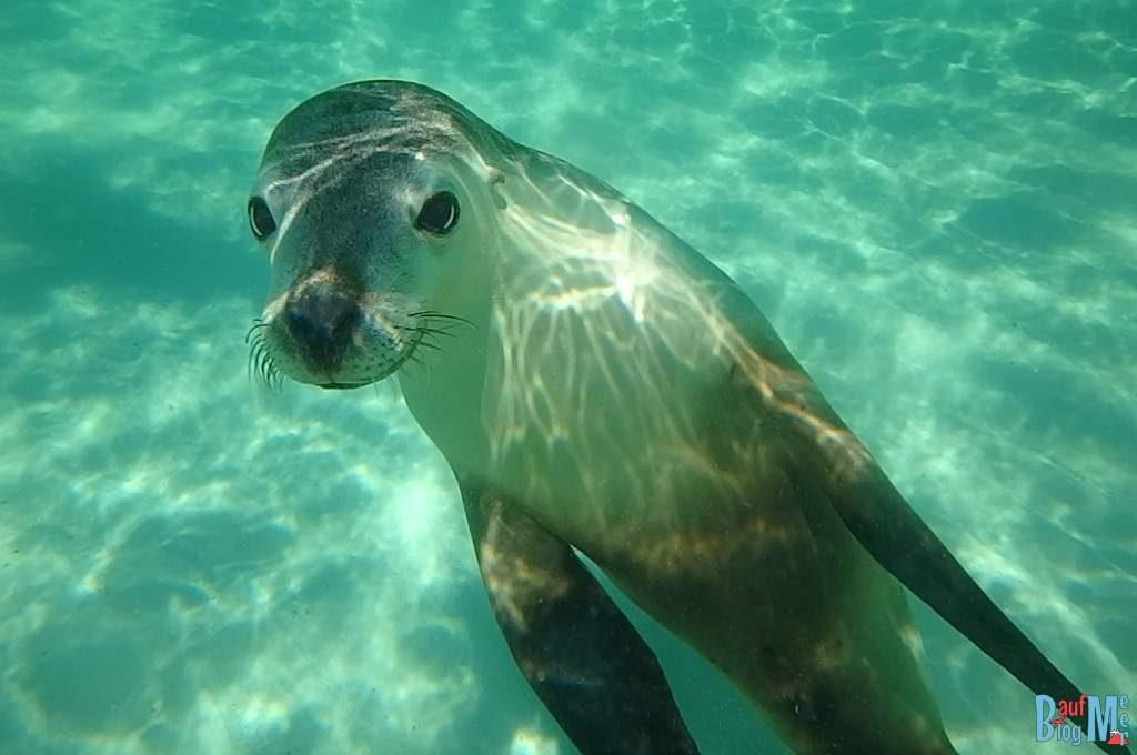 Ganz neugierig auf die Kamera der Seelöwe