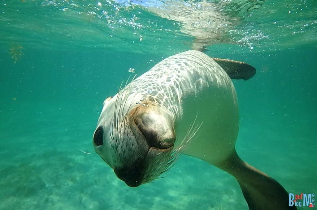 Seelöwe beim Spielen unter Wasser
