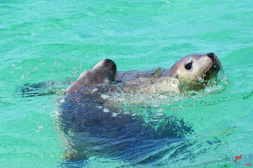 Wilde Seelöwen spielen miteinander