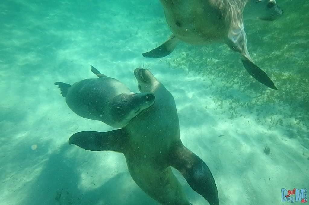 Seelöwen beim Spielen unter Wasser