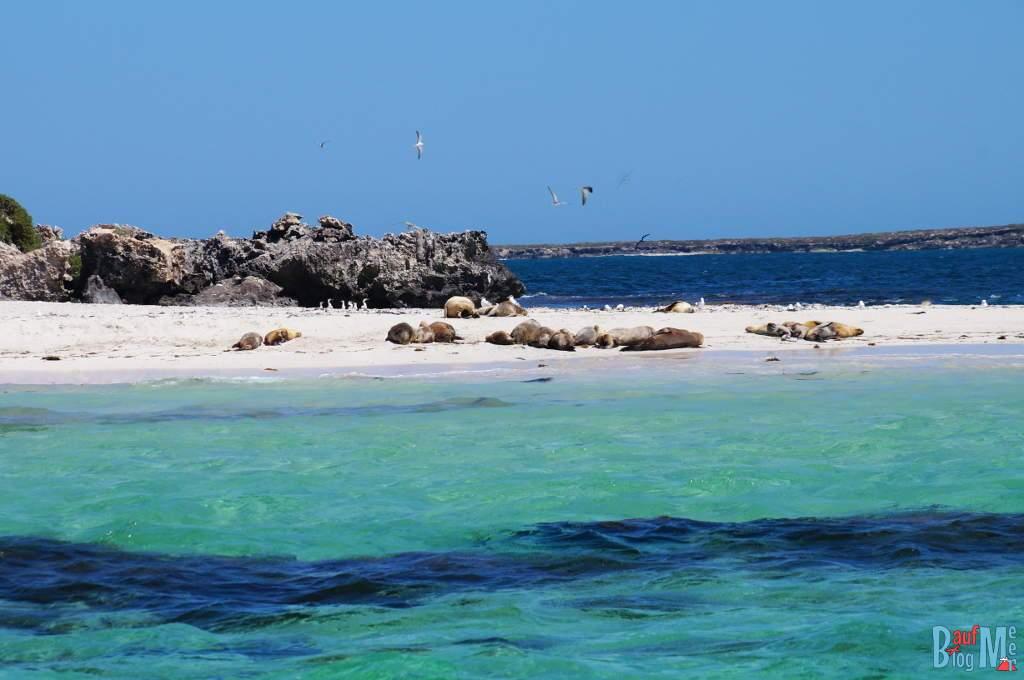 Seelöwen am Strand einer Insel bei Jurien Bay