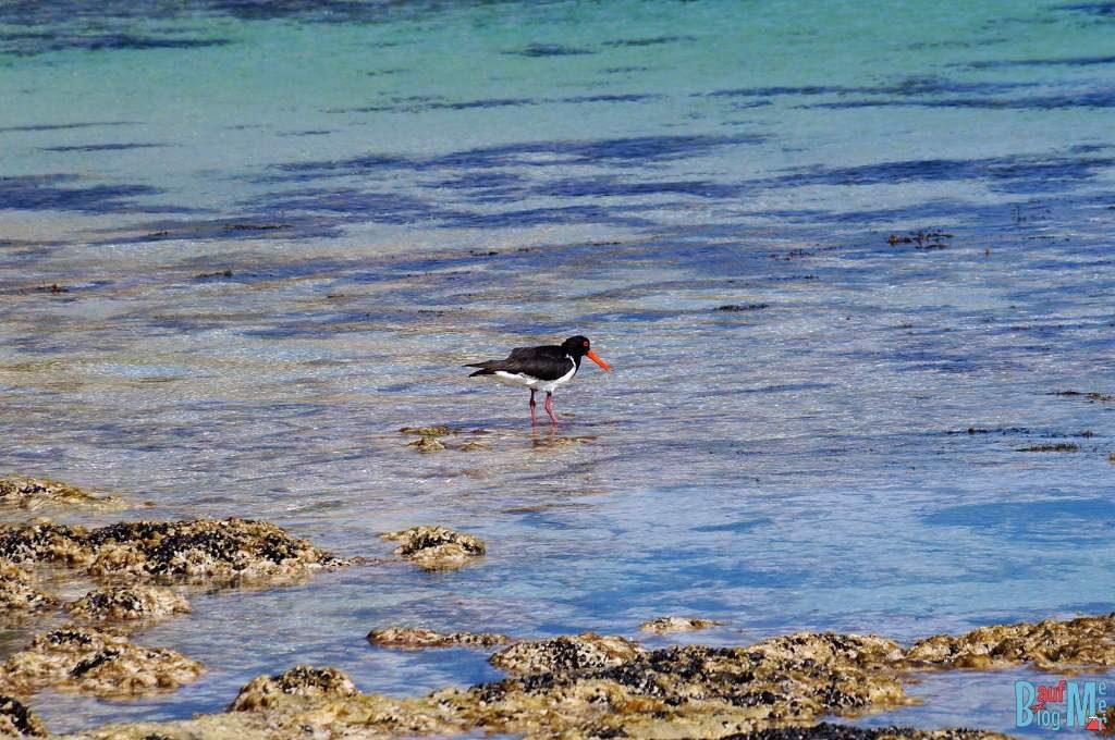 Vogel im Wasser bei Sandy Cape