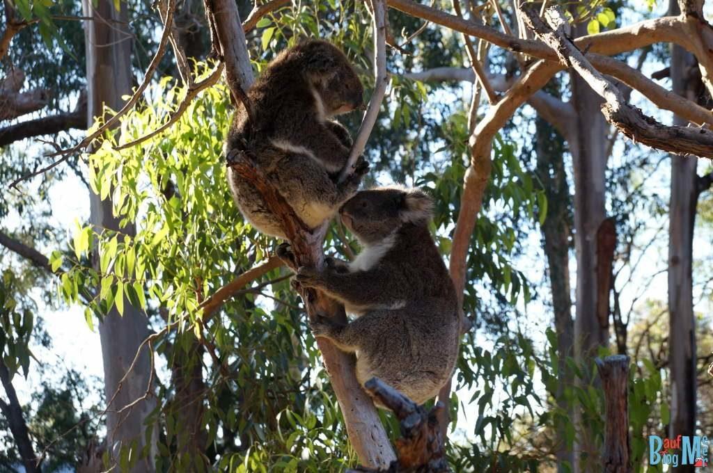 Zwei Koalas auf einem Baum im Yanchep Nationalpark.