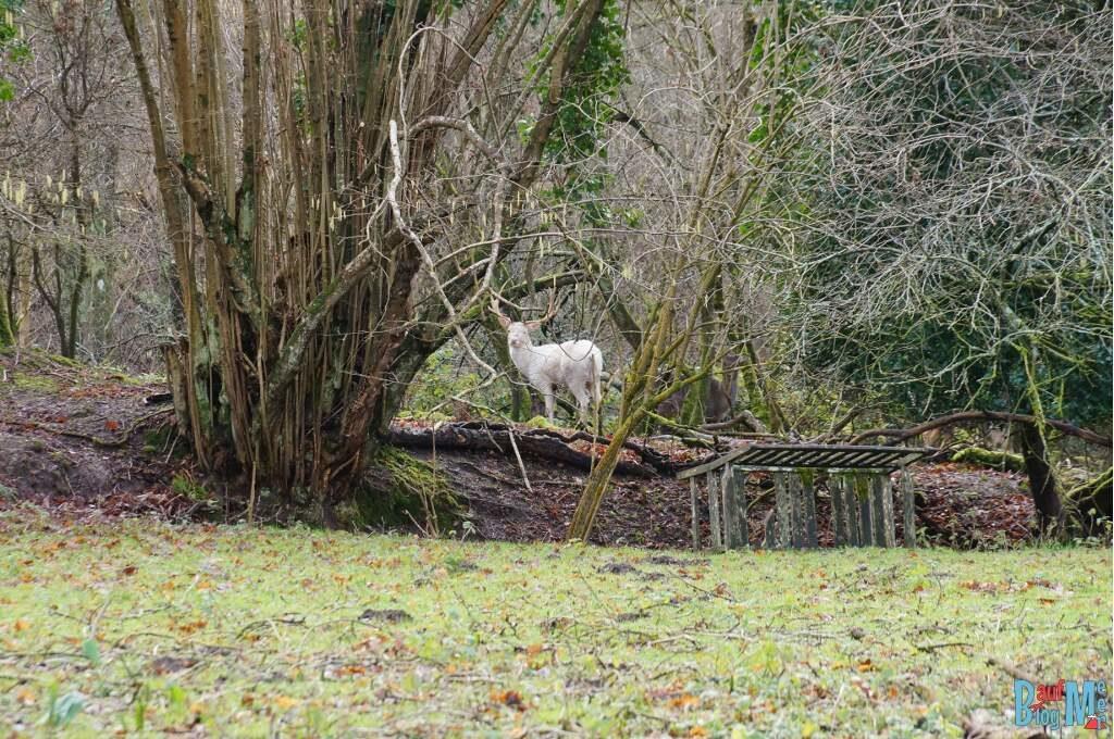 Ein weißer Hirsch vor unsere Scheune beim House Sit in England