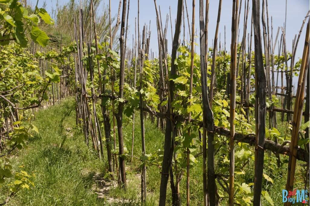 Weingärten bei Pancrazio auf der Insel Ischia
